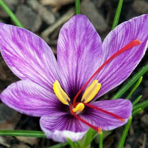 Saffron-flower.30882835_std